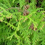 ArborvitaeWild Essential Oil