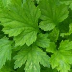 Armoise Mugwort Essential Oil