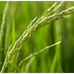 Ricebran Oil (USA)