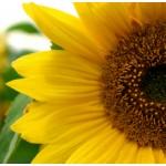 Sunflower Oil (CANADA)