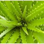 Aloe Vera Leaf Gel Extract 4:1