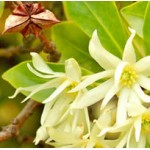 Anise Star Floral Water