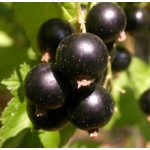 Black Current Seed Oil (CHINA)