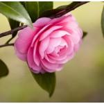 Camellia Seed Oil (CHINA)