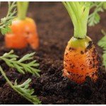 Carrot Seed Essential Oil (Hungary)
