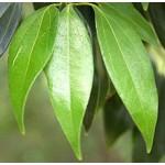 Cassia Essential Oil (China)