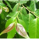 Cinnamon Leaf  Essential Oil (Organic)