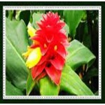 Curcuma Essential Oil