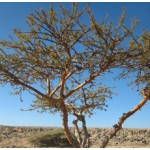 Frankincense Essential Oil (ORGANIC)