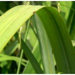 Ginger grass Essential Oil (China)