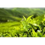 Green Tea Leaf S.E 10percent