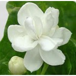 Jasmine Dried Flower