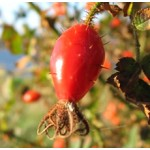 Rosehip Oil Refined (CHILE)