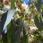 Eucalyptus Globulus Oil (China)