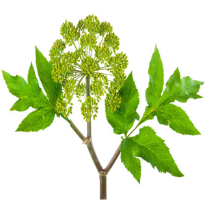 Angelica Root Essential Oil (India)