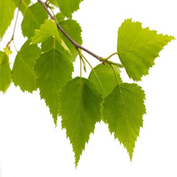 Birch Sweet Essential Oil (U.K)