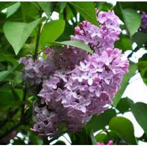 Lilac Absolute