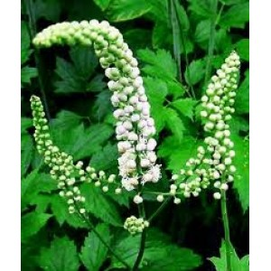 Black Cohosh Root P.E.4:1