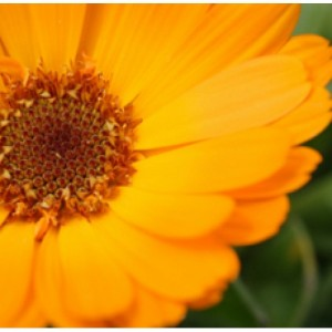 CALENDULA FLOWER WHOLE