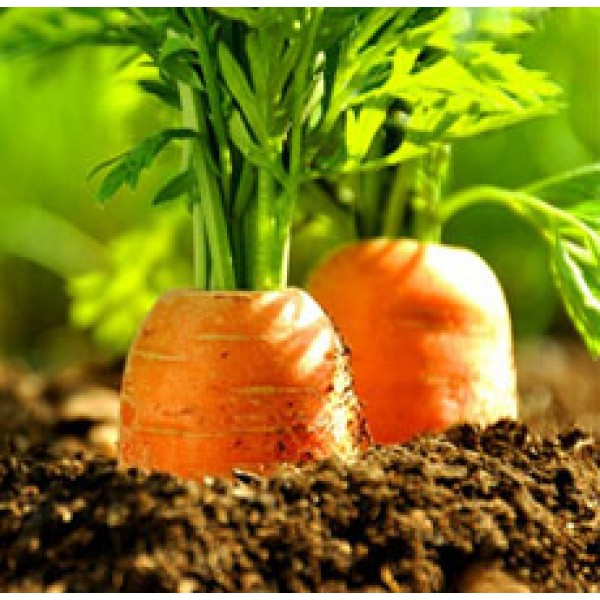 Carrot Seed Essential Oil (Austria)