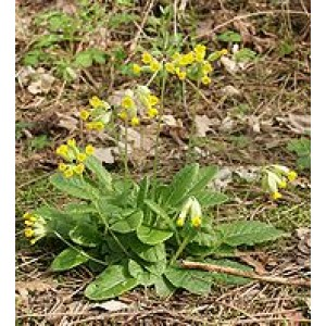COWSLIP (PRIMROSE) FLOWER WHOLE