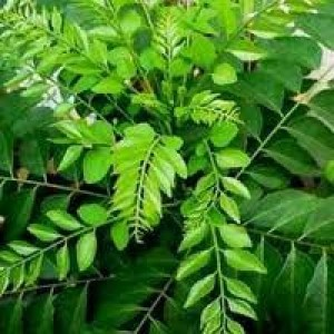 Curry Leaf Essential Oil (India)