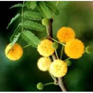 Cassie Flower Absolute Oil (Egypt)