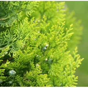 Cedarleaf (Thuja) Floral Water