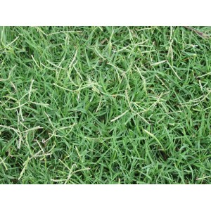 COUCH GRASS C/S (DOG GRASS)
