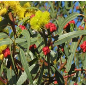 Eucalyptus Essential Oil (Smithii)