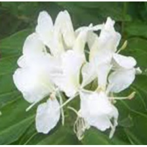 Ginger Lily Absolute Oil