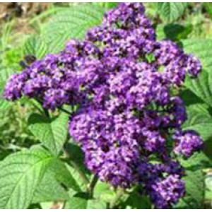 Heliotrope Absolute Oil