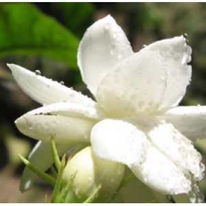 Jasmine Gradiflorum Oil 5percent