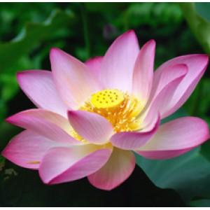 Lotus Pink Essential Oil (India)