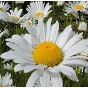 Chamomile Absolute Oil