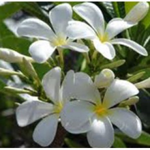 Frangipani Floral Water