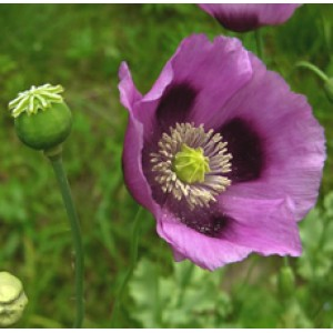 Poppy Seed Oil (INDIA)