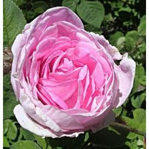 Rose Bulgaria 5percent