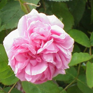 Rose Distillate Water