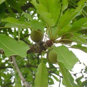 Shea Nut Oil (SOUTH AFRICA)