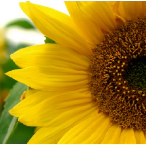 Sunflower Oil (CANADA)