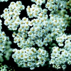 Yarrow Flower 5percent
