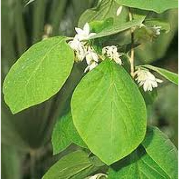Benzoin Essential Oil (China)