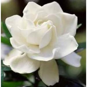 Gardenia Flower Water