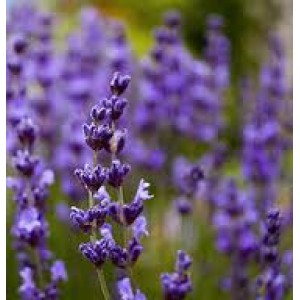 Lavender Essential Oil (Bulgarian)