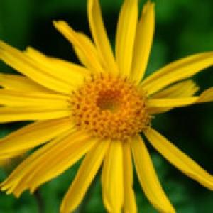 Arnica Flower Oil
