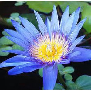 Lotus Blue Oil (India)
