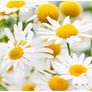 Chamomile Essential Oil 5percent