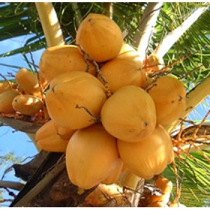 Coconut Oil RBD (PHILIPPINES)