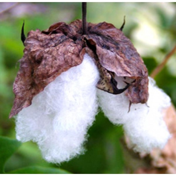 Cotton seed Oil (INDIA)